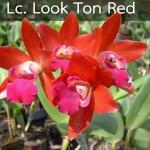 Lc. Look Ton Red (แคทลียา ลูกต้นเรด) / BS
