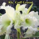Rlc. Golf Green (แคทลียา กอล์ฟ กรีน) / MD